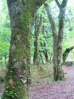 若杉原生林