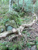 苔むした石の隙間を水が流れます。