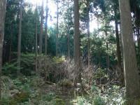 植林されたスギの森